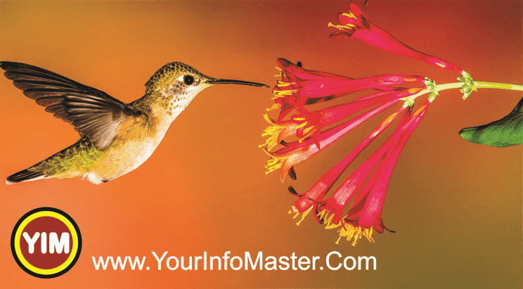 hummingbird nest bee hummingbird hummingbird drawing hummingbird lifespan hummingbird species hummingbird size hummingbird habitat hummingbirds facts