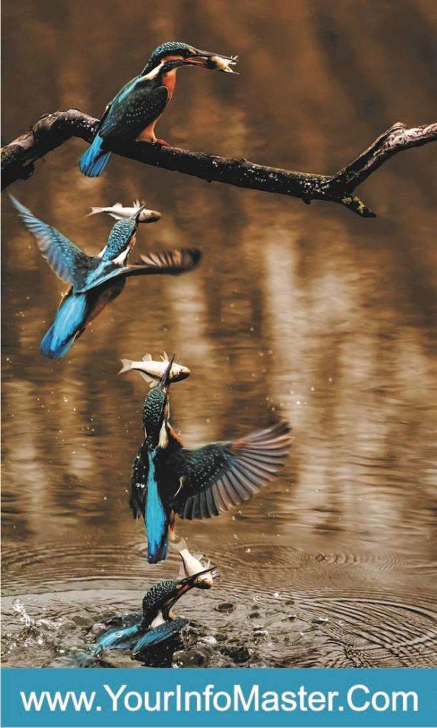 belted kingfisher common kingfisher kingfisher owner kingfisher uk kingfisher habitat river kingfisher kingfisher food kingfisher facts