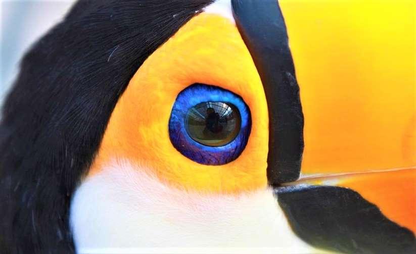 toco toucan toucan lifespan where do toucans live toucan habitat toucan diet toucan adaptations toucan species toucan baby