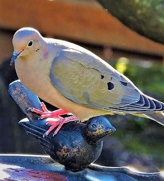 domestic pigeon pigeon wikipedia pigeon bird information pigeon vs dove columbidae breeds columbidae species