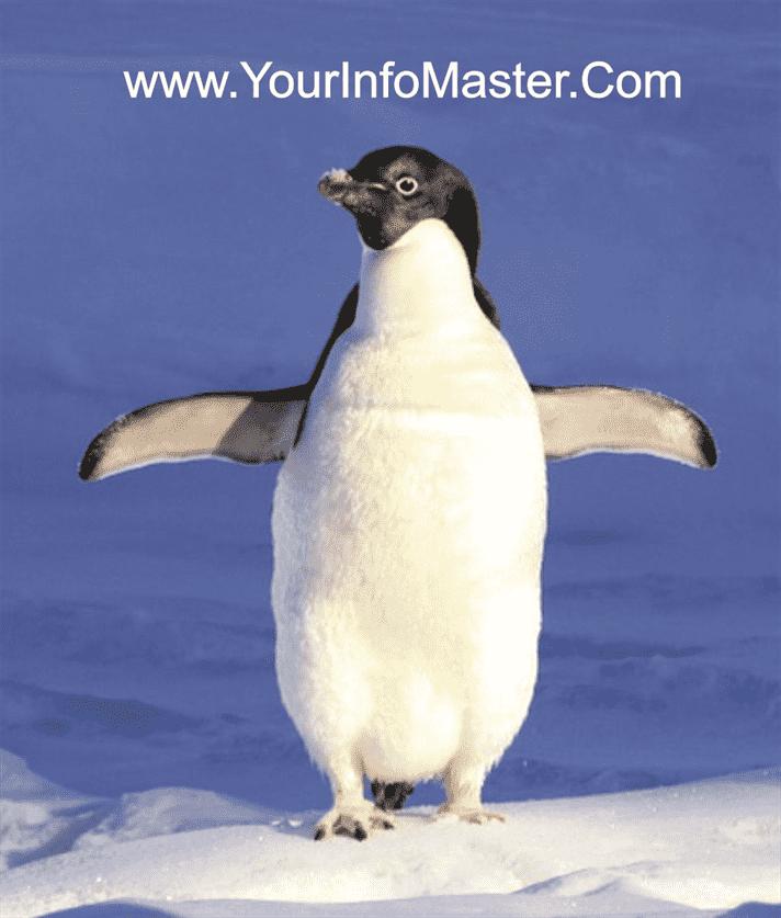emperor penguin penguins facts where do penguins live little penguin are penguins mammals penguins habitat what do penguins eat penguin information