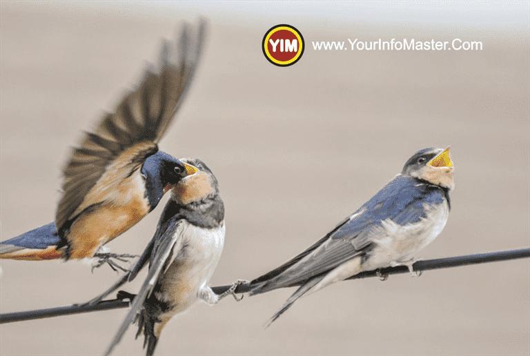 common swift swallows and swifts swift bird speed swift bird nest swift bird facts swift bird symbolism swift bird sleep while flying swift bird food