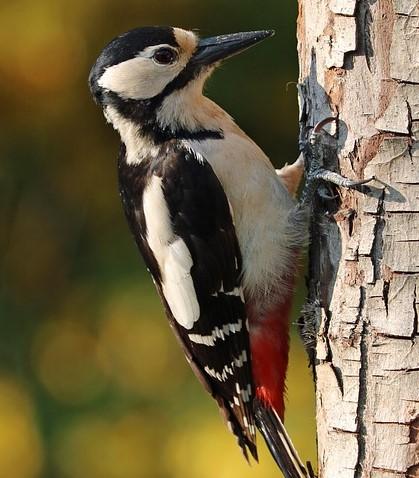pileated woodpecker great spotted woodpecker woodpecker nest woodpecker species woodpecker lower classifications woodpecker facts woodpecker beak woodpecker video